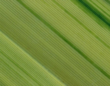 Cordyline Leaf Pattern